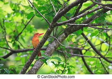Ruddy Kingfisher (Halcyon coromanda) in Japan