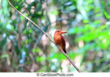 Ruddy Kingfisher (Halcyon coromanda major) in Japan