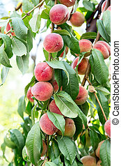 ruddy ripe peaches on a tree