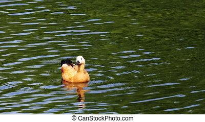 Ruddy Shelduck a bird, urban animals at the pond. Duck swims on the water