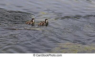 Ruddy shelduck Chicks float on water. Urban animals on the pond