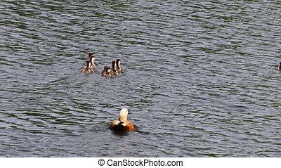 Ruddy shelduck Chicks swim with an adult bird. Urban animals on the pond