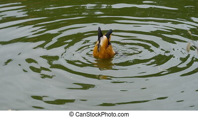 Ruddy Shelduck on water