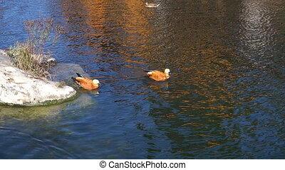 Ruddy Shelduck. Red ducks on the lake.