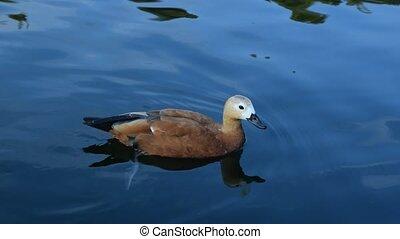 Ruddy shelduck swims in blue water