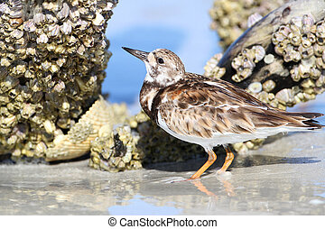 Ruddy Turnstone (Arenaria interpres) foraging for barnacles on a piece of driftwood - Fort Myers Beach, Florida
