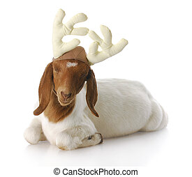 rudolph - south african boer goat doeling dressed up with...