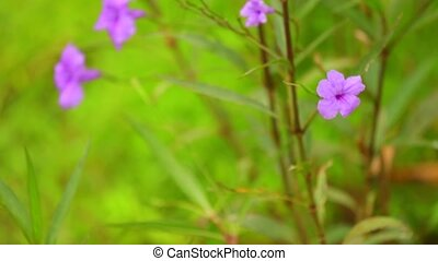 Ruellia Tuberosa Purple Wild Garden Flowers Panning Camera -...