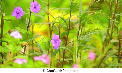 Ruellia Tuberosa Wild Garden Flowers Panning Camera -...