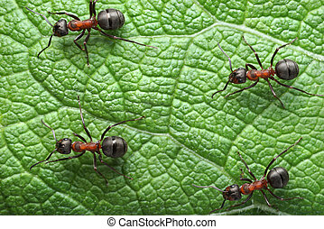 rufa, cuatro, Movimiento,  formica, hormigas