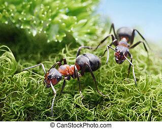 rufa, ir,  formica, dos, hormigas