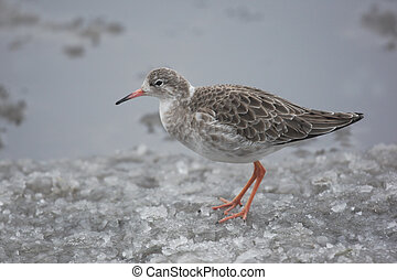 Ruff, Philomachus pugnax, a single bird standing in snow,...