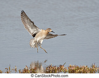 Ruff (Philomachus pugnax) - Ruff in flight with blue water...