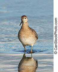 Ruff (Philomachus pugnax) - Ruff looking for food in its...