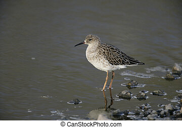 Ruff, Philomachus pugnax, single bird in water, Tanzania