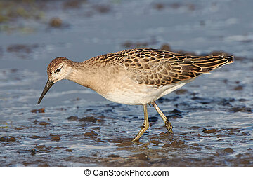 Ruff (Philomachus pugnax) - Ruff looking for food in the...