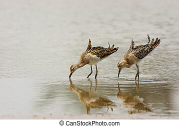Ruff, two birds water reflection,Rippled,