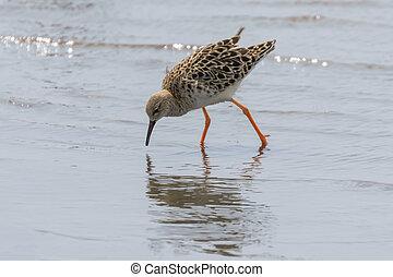 Ruff Wader Bird (Philomachus pugnax) Ruff in Water