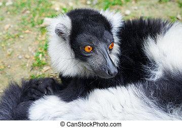 ruffed lemur, van, madagascar, verticaal