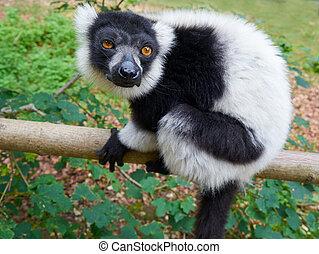 ruffed lemur, z, madagaskar, portret