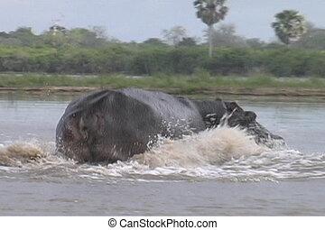 Hippo splashing though the Rufiji River in the Selous, Southern Tanzania
