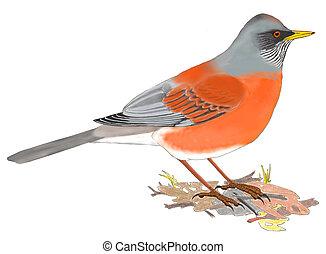 Rufous-backed Robin - Turdus rufopalliatus