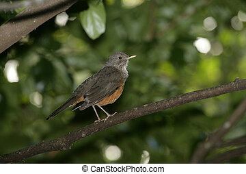 Rufous-bellied thrush, Turdus rufiventris, single bird on ...