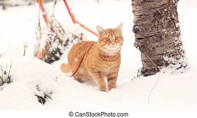rufous cat walking on a snowdrift - frightened rufous cat...