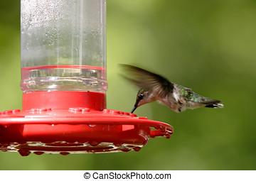 rufous, colibrí, .