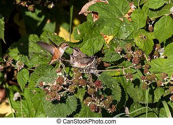 rufous, colibrí