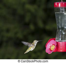 rufous, colibrí, (selasphorus, ruf