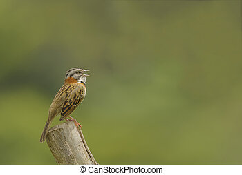Rufous-collared Sparrow Calling