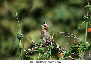 Rufous Collared Sparrow in a Tree