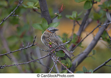 Rufous-collared Sparrow on a Branch