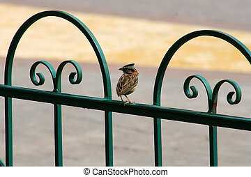 Rufous Collared Sparrow on a Fence