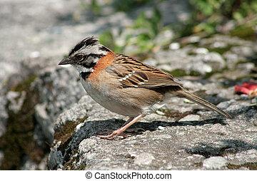 Rufous Collared Sparrow on a Ledge
