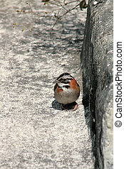 Rufous Collared Sparrow on Stone