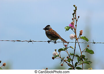 Rufous Collared Sparrow on Wire