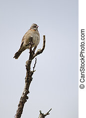 Rufous-collared sparrow perched on a tree branch.