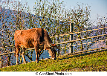 rufous cow grazing near the fence on hillside. lovely rural...