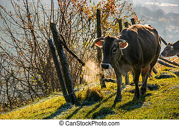 rufous cow near the fence on hillside on foggy morning....