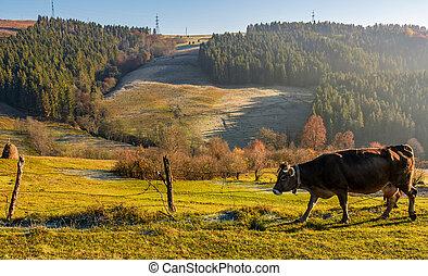 rufous cow near the fence on hillside on foggy morning....