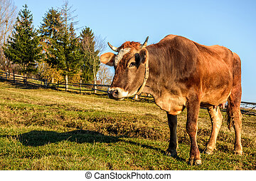 rufous cow on hillside meadow near the forest - Carpathian...