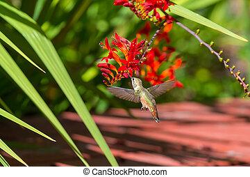 Rufous Hummingbird Feeding on Flower Nectar