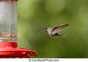 rufous, hummingbird.