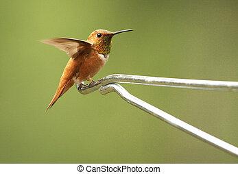 Rufous hummingbird male (Selasphorus rufus)