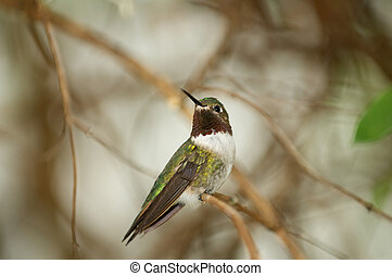 Rufous Hummingbird Perched on a tree branch