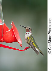 Rufous Hummingbird Perched on Feeder