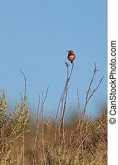 Rufous hummingbird, Selasphorus