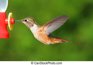 Rufous Hummingbird (Selasphorus rufus) in flight at a feeder